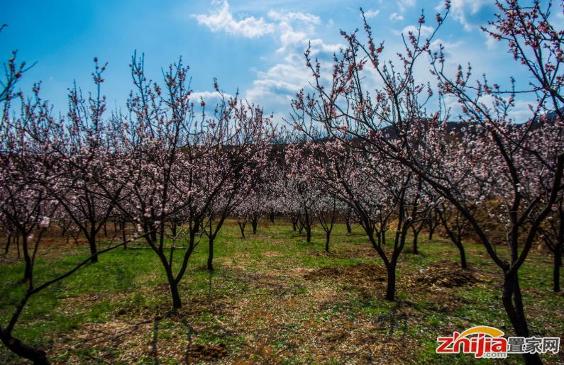 首届西山杏花摄影节下周二开幕 准备好欣赏春色了吗?